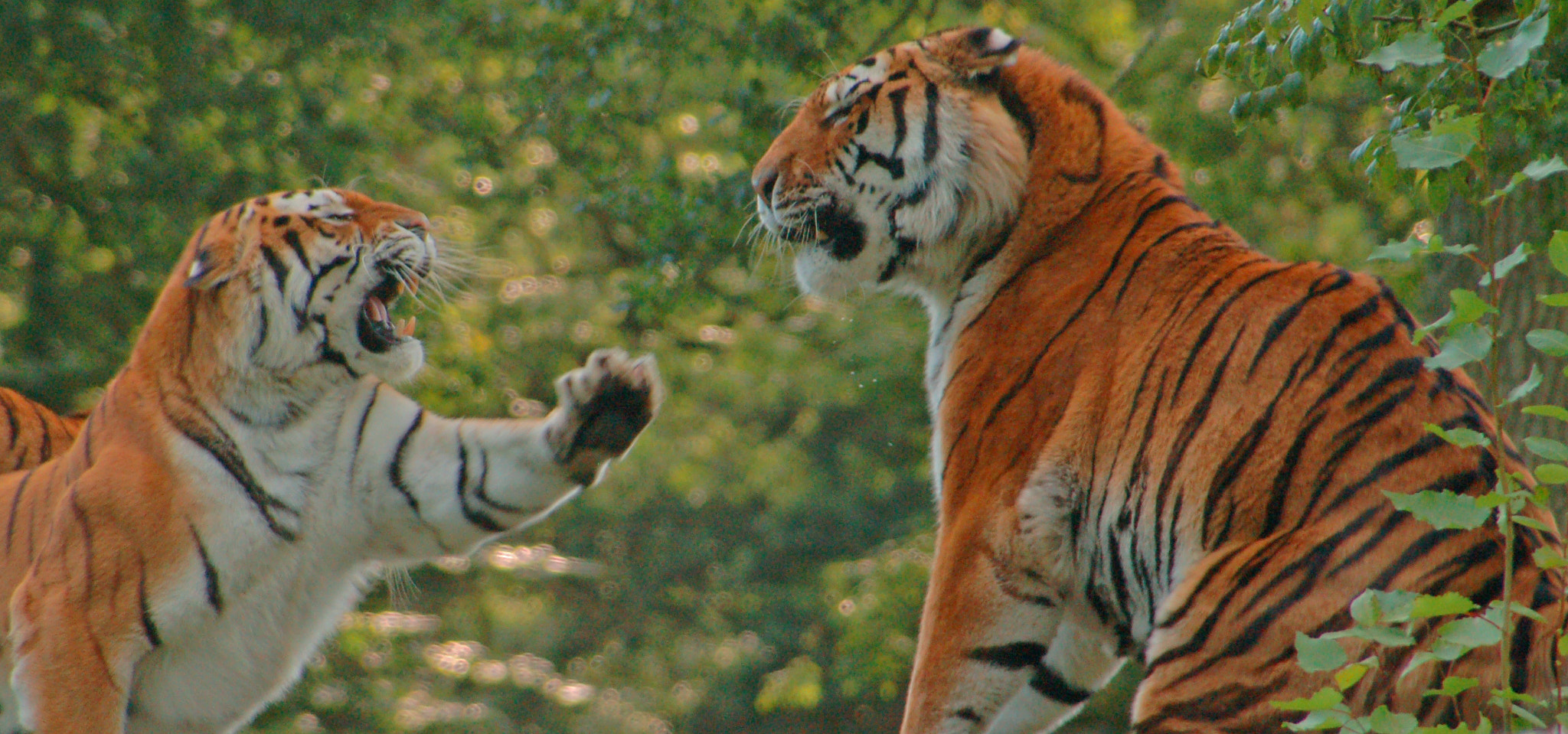 Photograph Tigers by Kate Walker on 500px