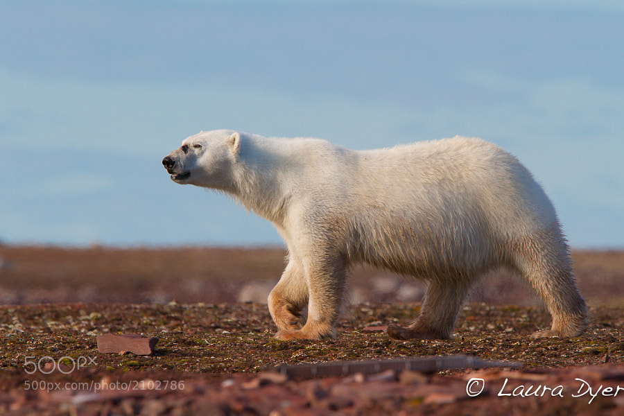 This bear was on quite a mission along the shoreline in Spitsbergen.