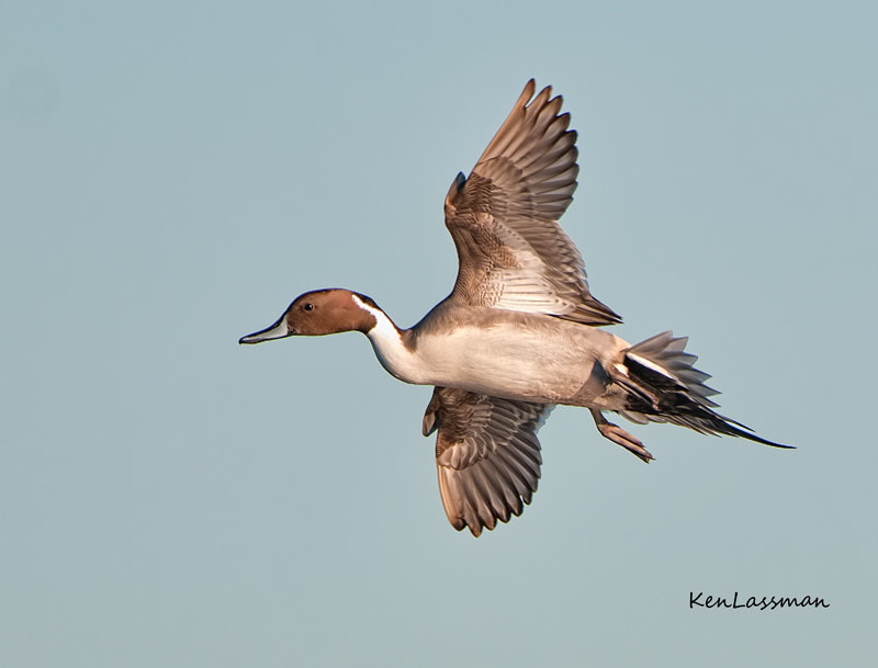 Photograph Northern Pintail (male) by Ken  Lassman on 500px