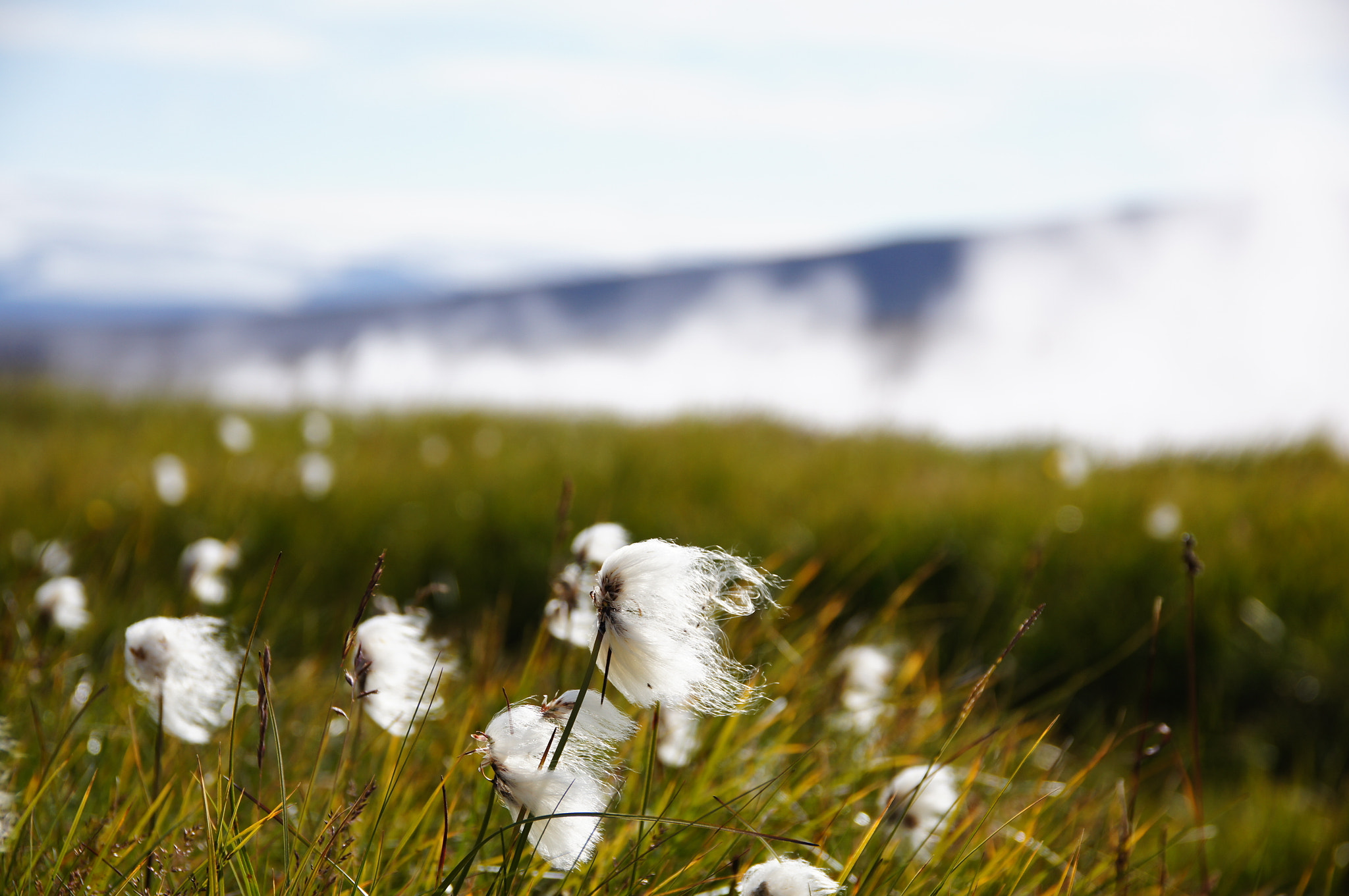 Photograph Cottongrass in Iceland by Frank Schäfer on 500px