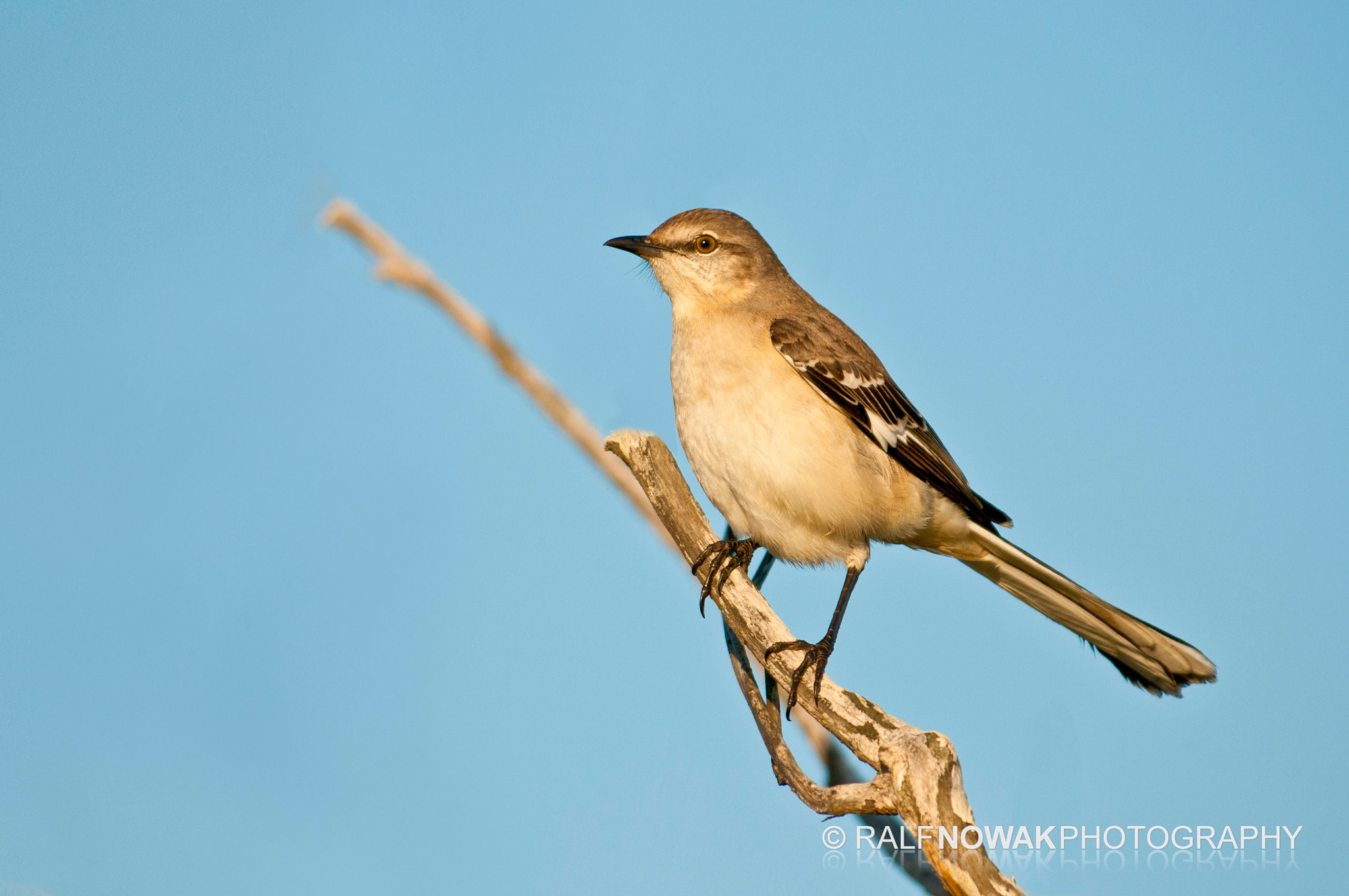 Photograph Northern Mockingbird  by Rafal Nowak on 500px