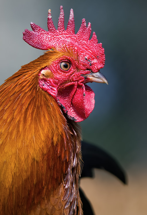 Photograph The king of the barnyard by Stéphane ABCDEF on 500px