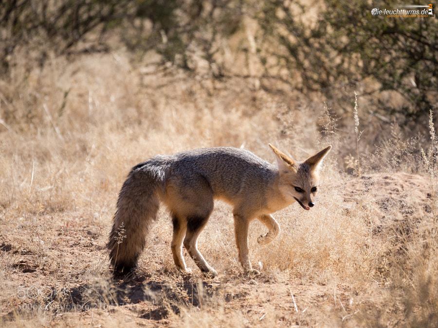 Cape fox (Vulpes chama)