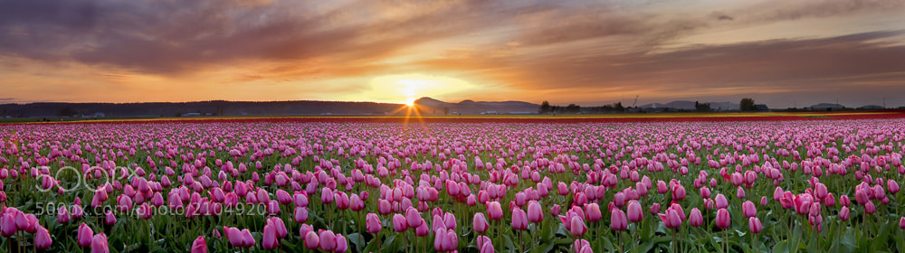 Photograph Tulip Sunbursts by David  Forster on 500px