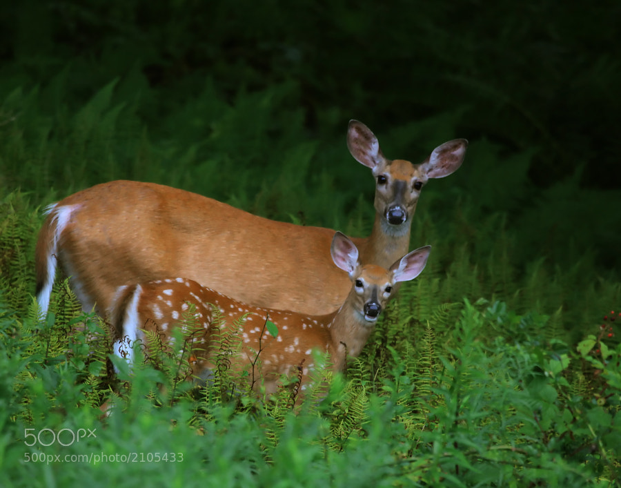 A White Tail Doe and her Fawn photographed in the Wilds of Pennsylvania, August 2011.