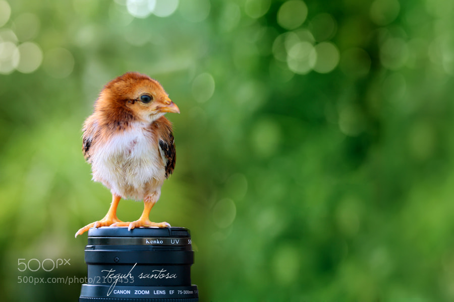 Photograph chick by teguh santosa on 500px