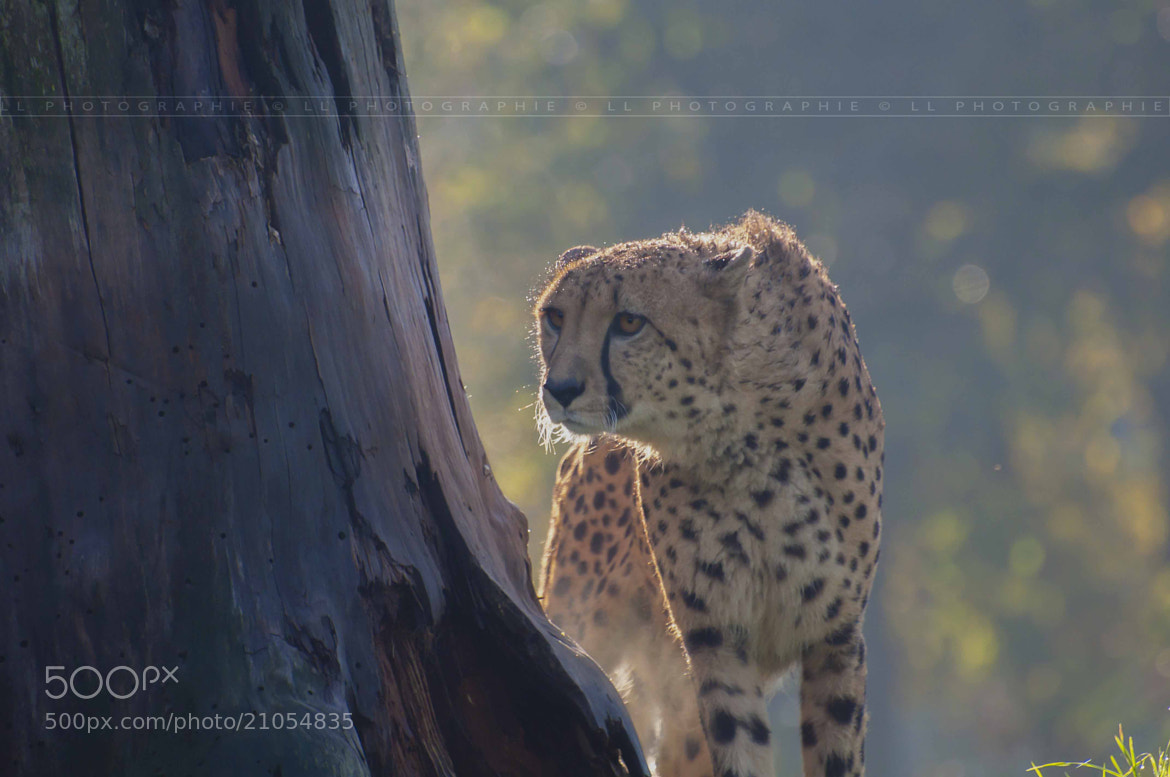 Photograph Le Guépard  by LL Photographie on 500px
