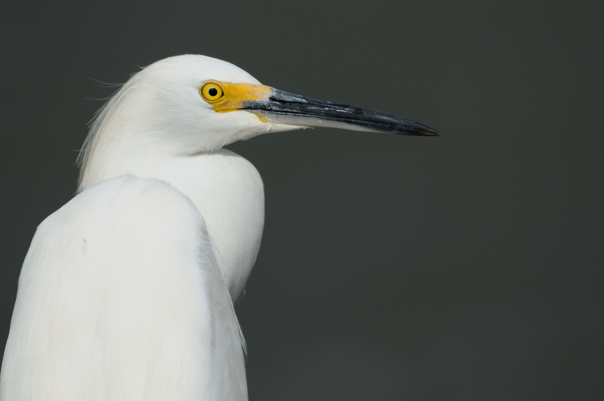 Photograph Snowy Egret Portrait by Mark Schwall on 500px