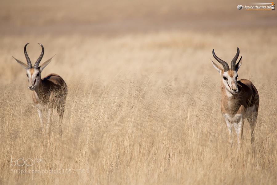 Springboks (Antidorca)