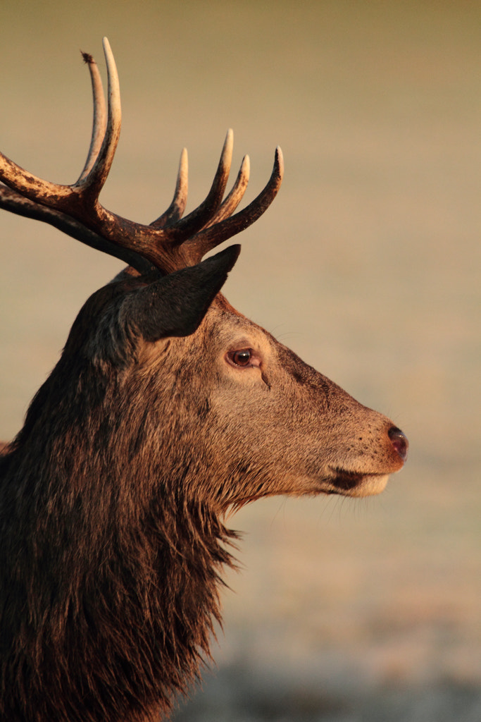 Photograph Red Stag by Lee Crawley  on 500px