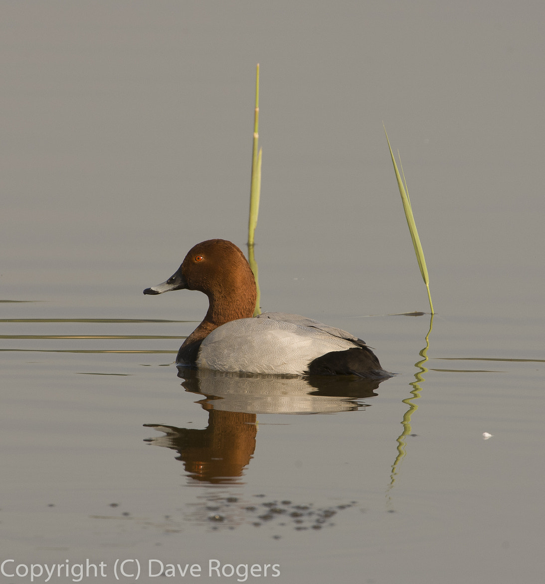 Photograph Drake pochard by Dave Rogers on 500px