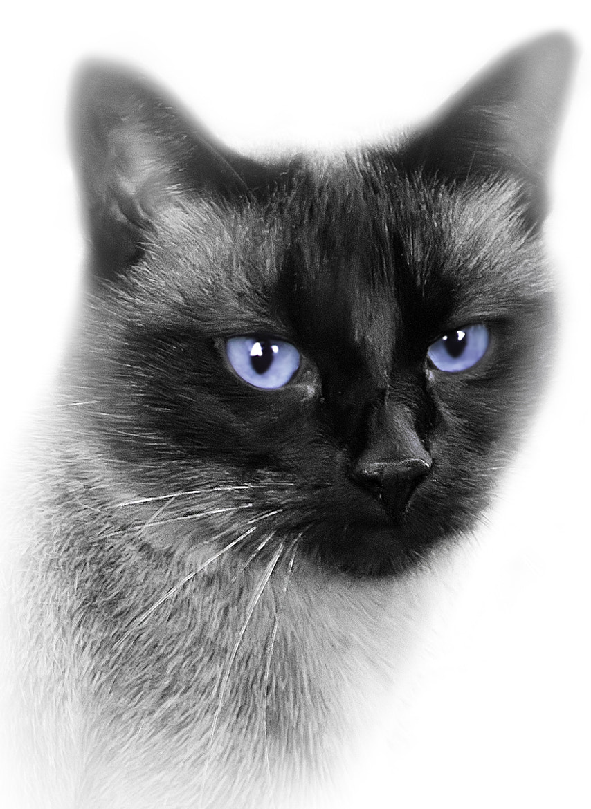 Photograph Siamese Blue by Ian McConnell on 500px