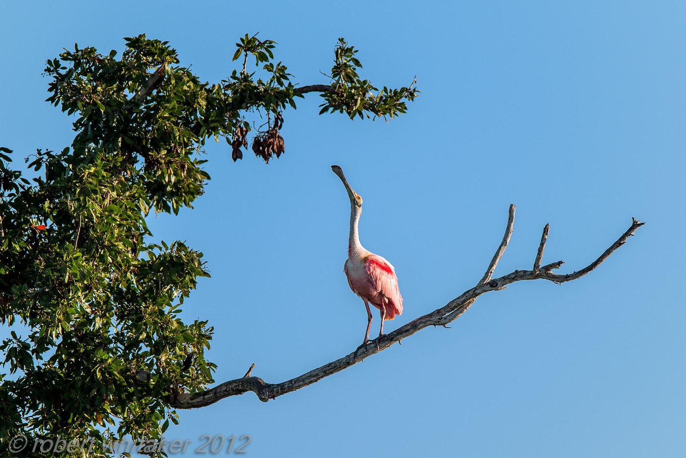 Photograph Roseate Spoonbill by Robert Whitaker on 500px
