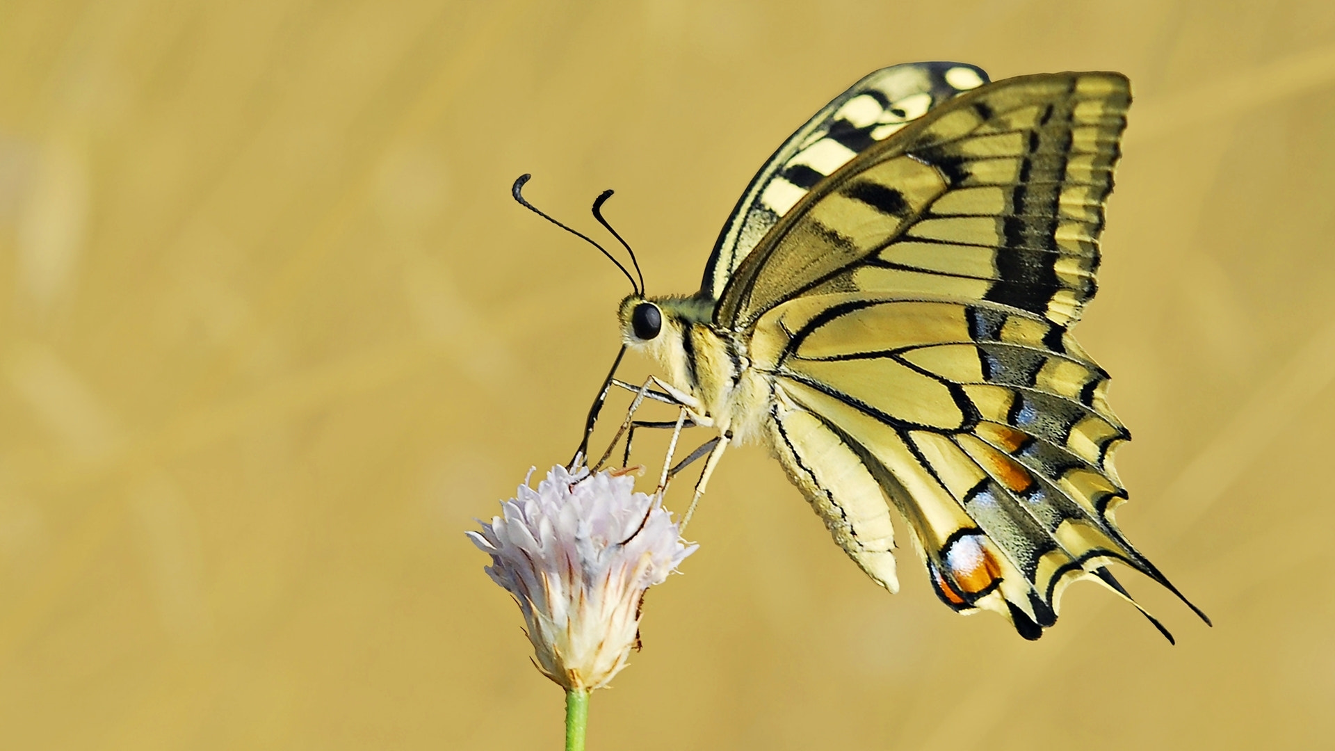Photograph Papilio machaon by ilker kursun on 500px