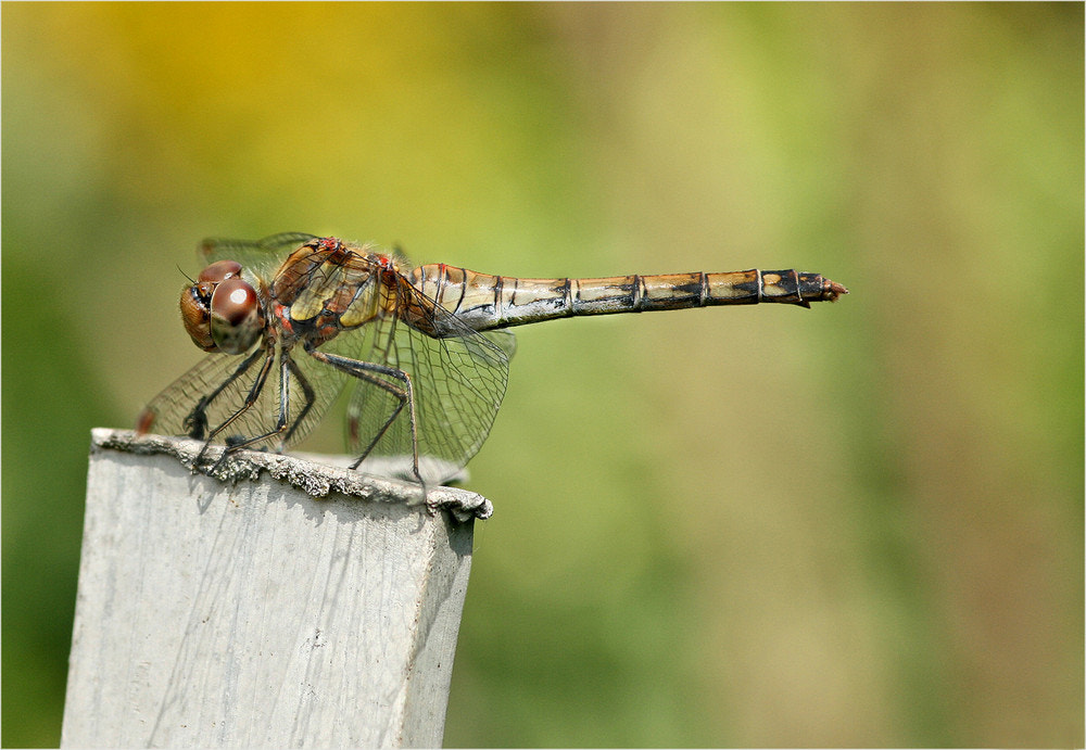 Photograph Dragonfly by Carsten N. on 500px