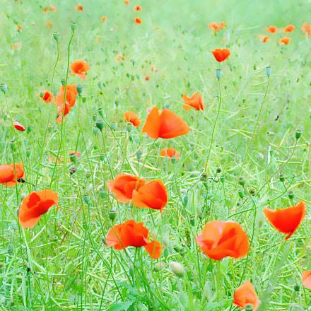 ....poppies
