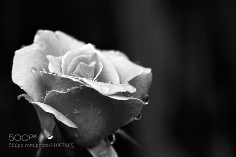 Photograph Lonely Rose by Julia S on 500px