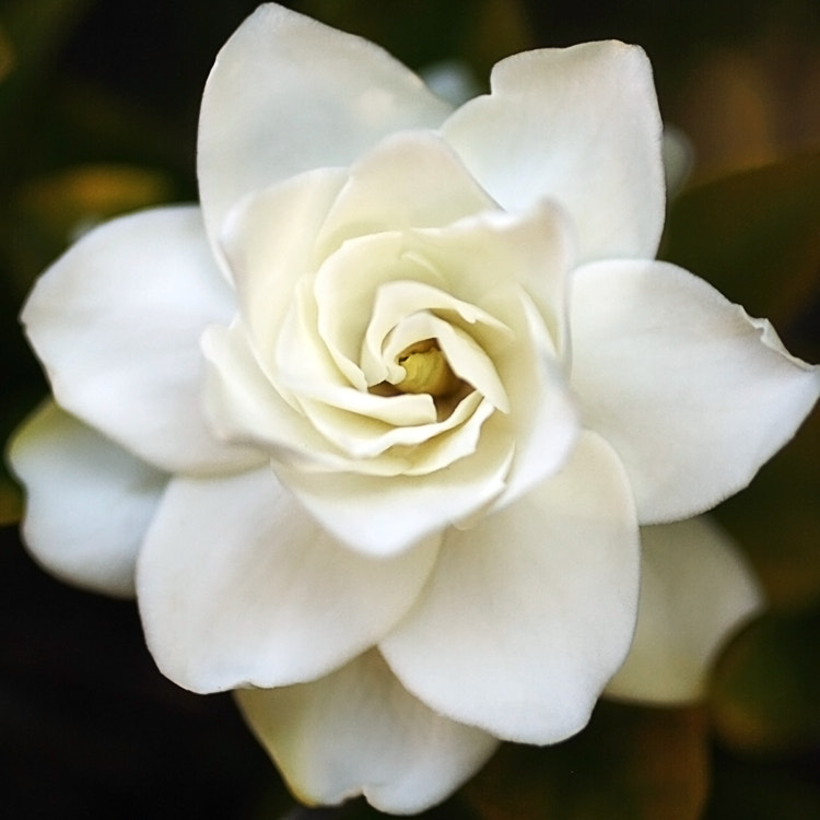 Photograph Gardenia by Julia S on 500px