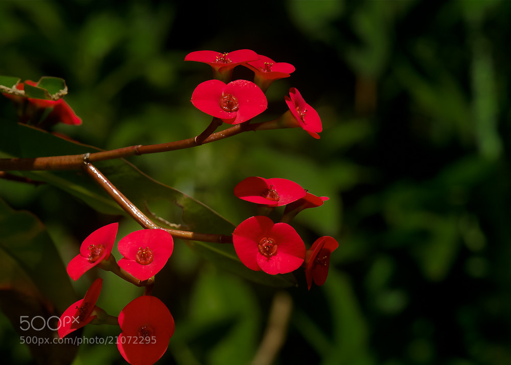 Photograph Corona de espinas/Crown of Thorns/Couronne d'épines by .........JuMiLeAl.  on 500px