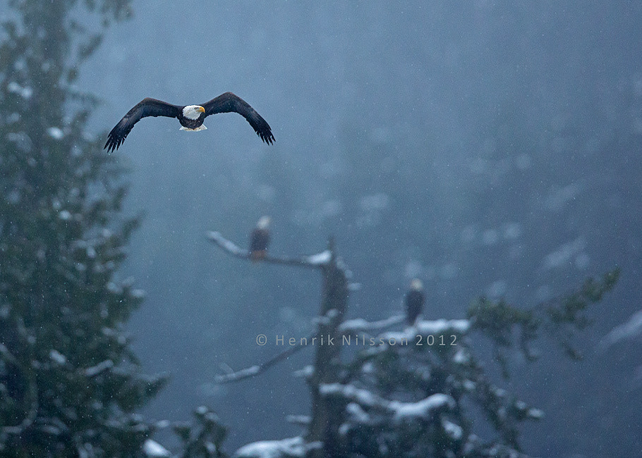 Photograph Bald Eagle in the Rain by Henrik Nilsson on 500px