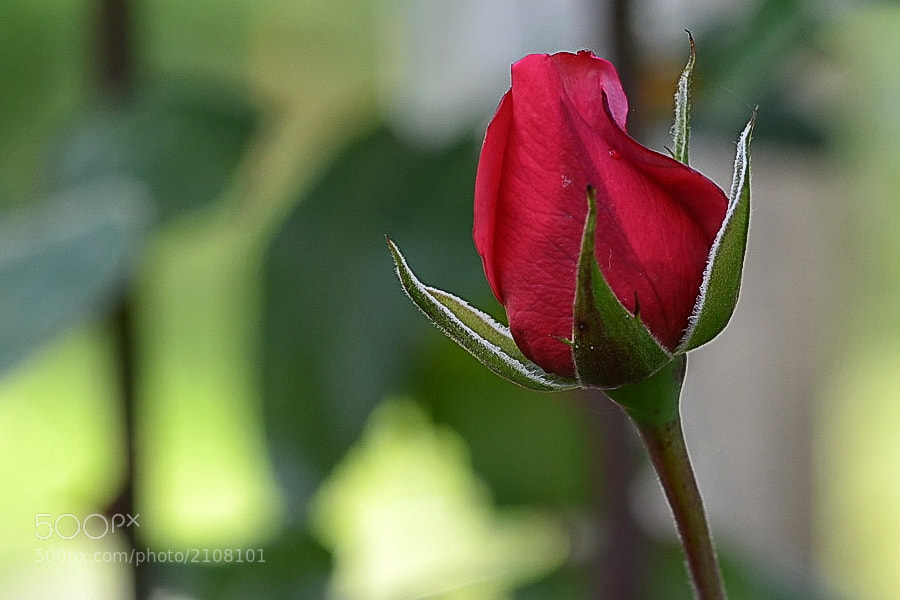 Photograph Herbstrose / Autumn Rose by Margarita from Klaipeda on 500px