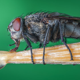 just a fly n°1