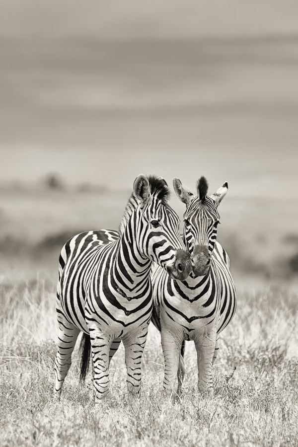 Photograph 2 Zebras by Mario Moreno on 500px