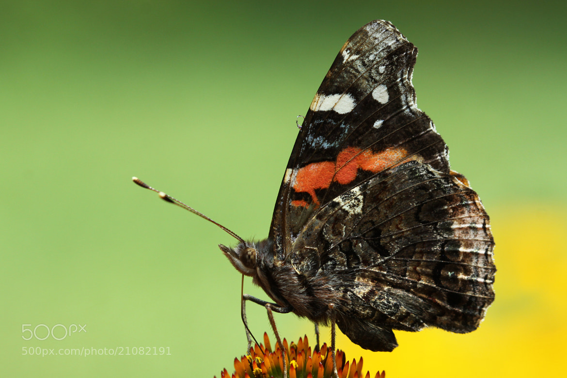 Photograph Red Admiral by Kenneth  Maurer on 500px