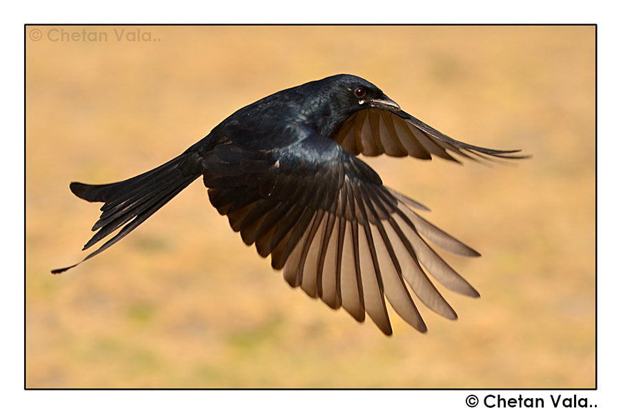 Photograph Black Drongo in flight... by chetan vala on 500px