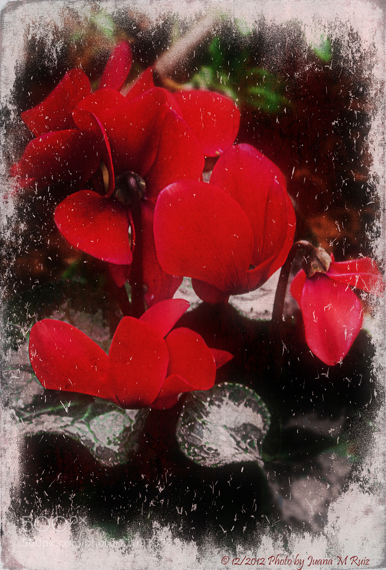 Photograph Today I cut a flower by Juana Maria Ruiz on 500px