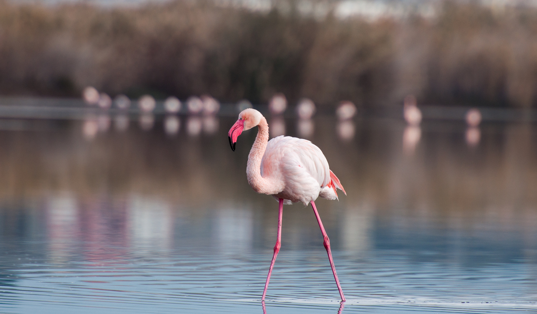 Photograph Flamingo by Carlo Murenu on 500px