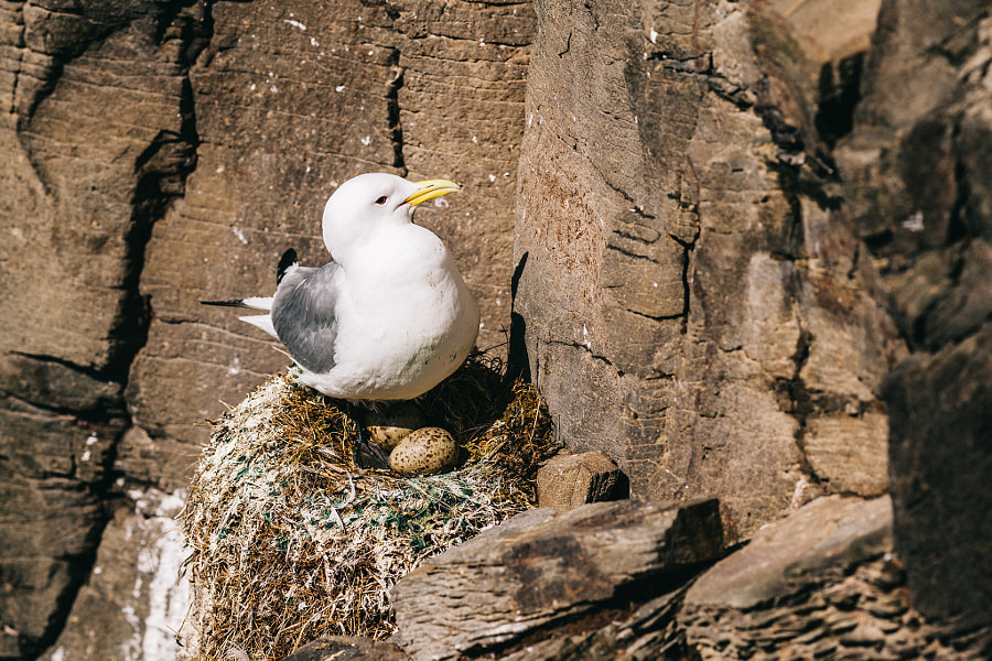 Breeding Seagull