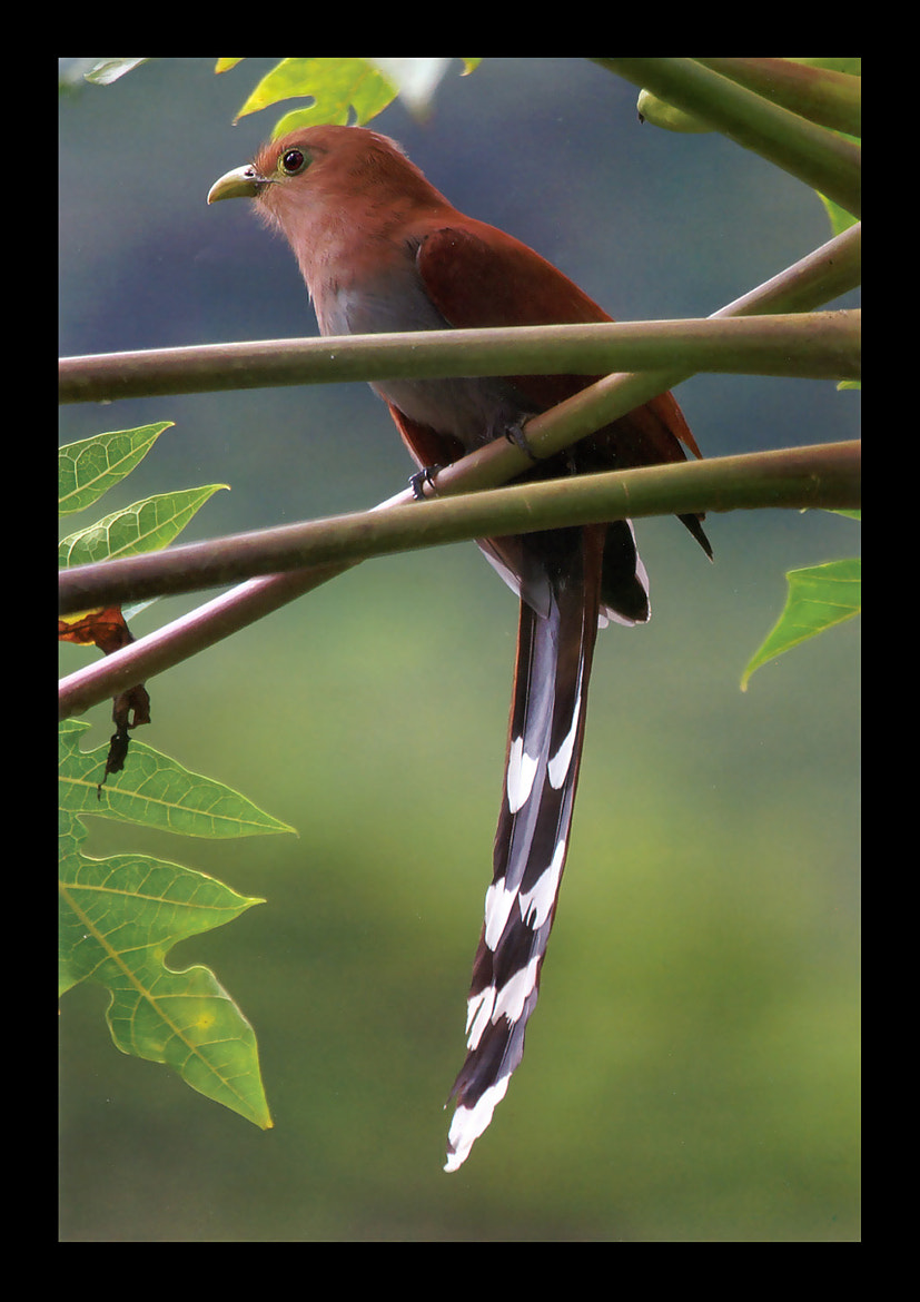 Photograph LONG TAIL by MAROOF RANA on 500px