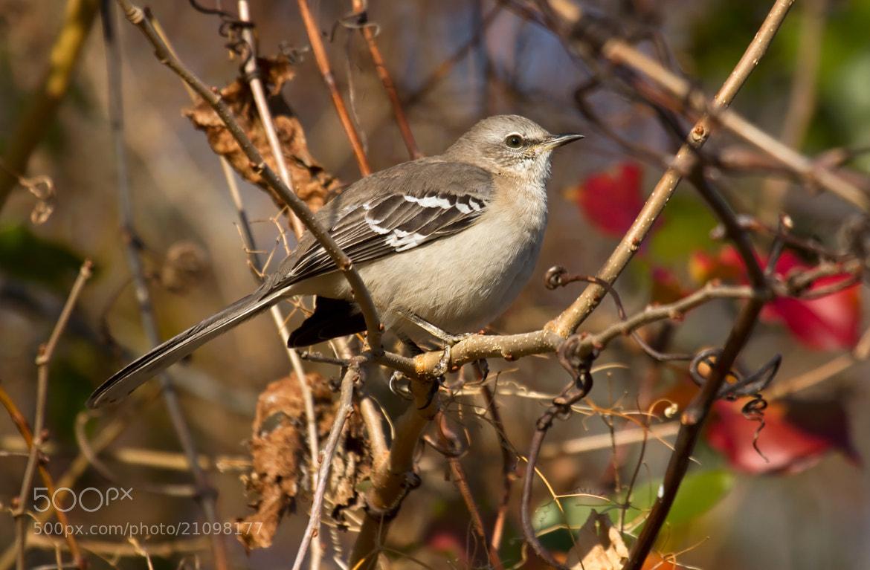Photograph Northern Mockingbird by Lorraine Hudgins on 500px