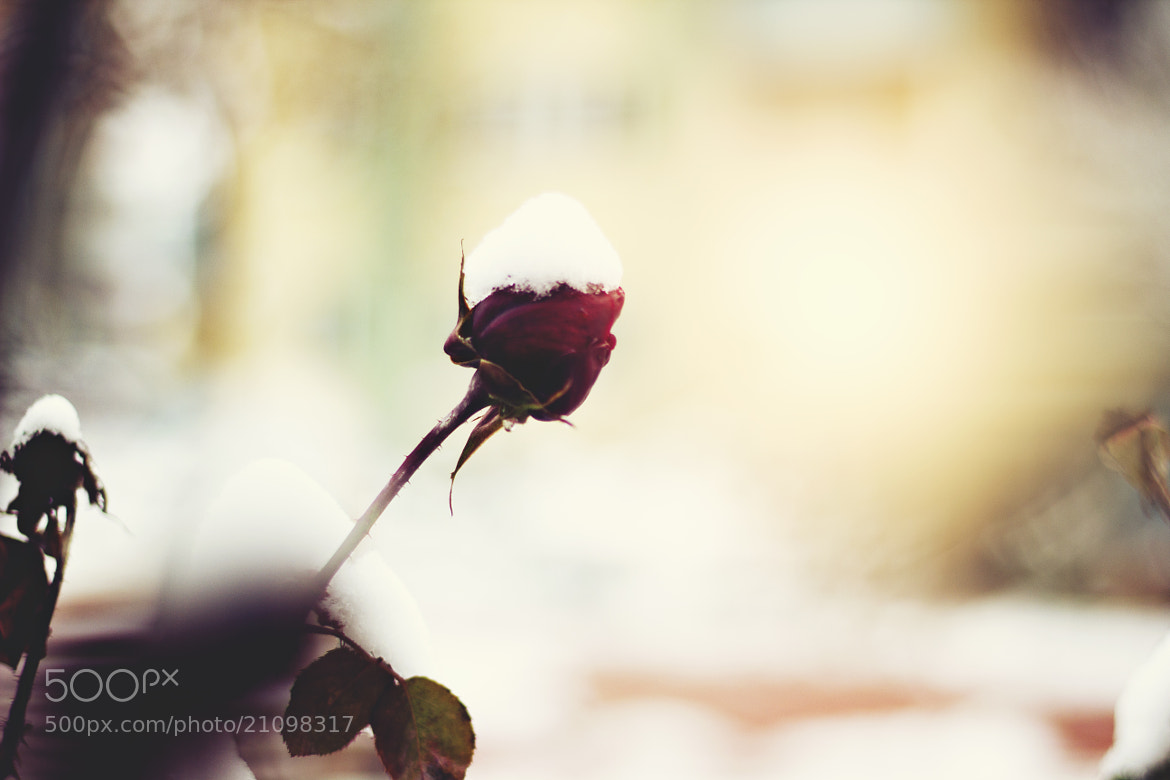 Photograph Rose by Damla Özcan on 500px