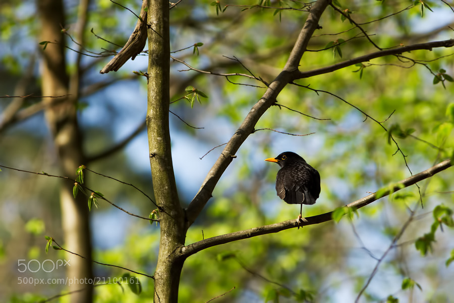 Photograph One legged blackbird by Stéphane ABCDEF on 500px