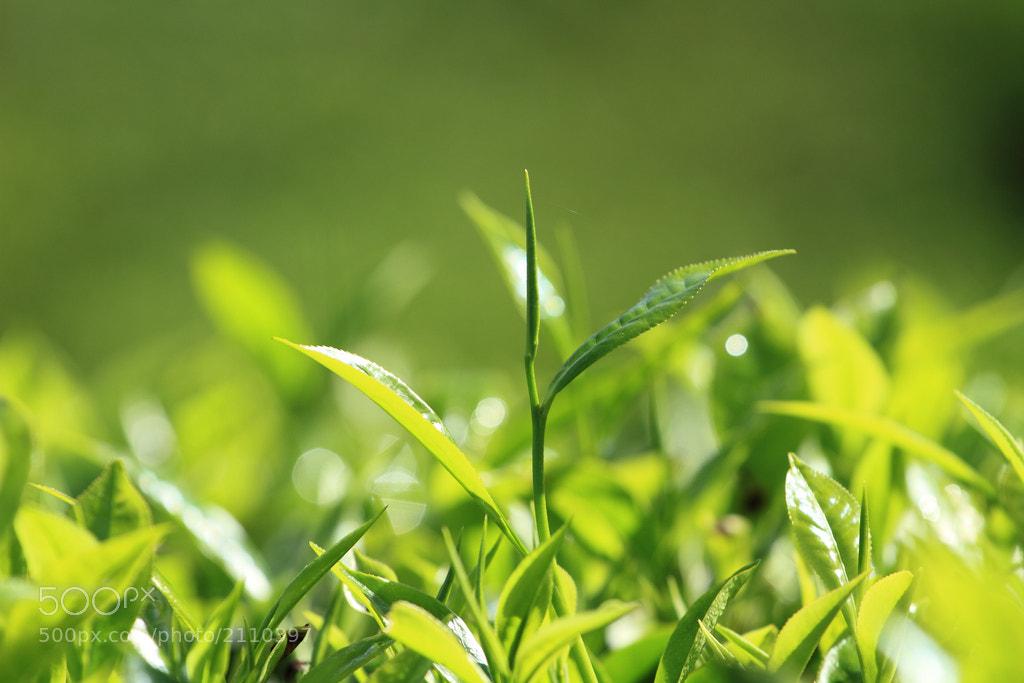 Photograph Tea leaves by Agnisoonu K on 500px