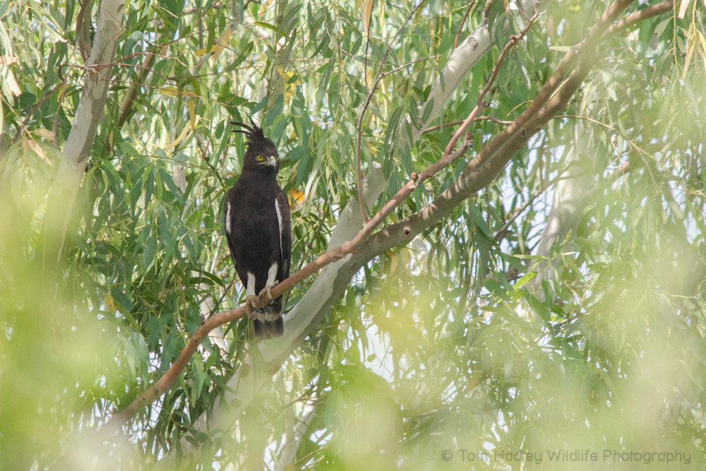 Photograph Long-crested Eagle by Tom Hadley on 500px