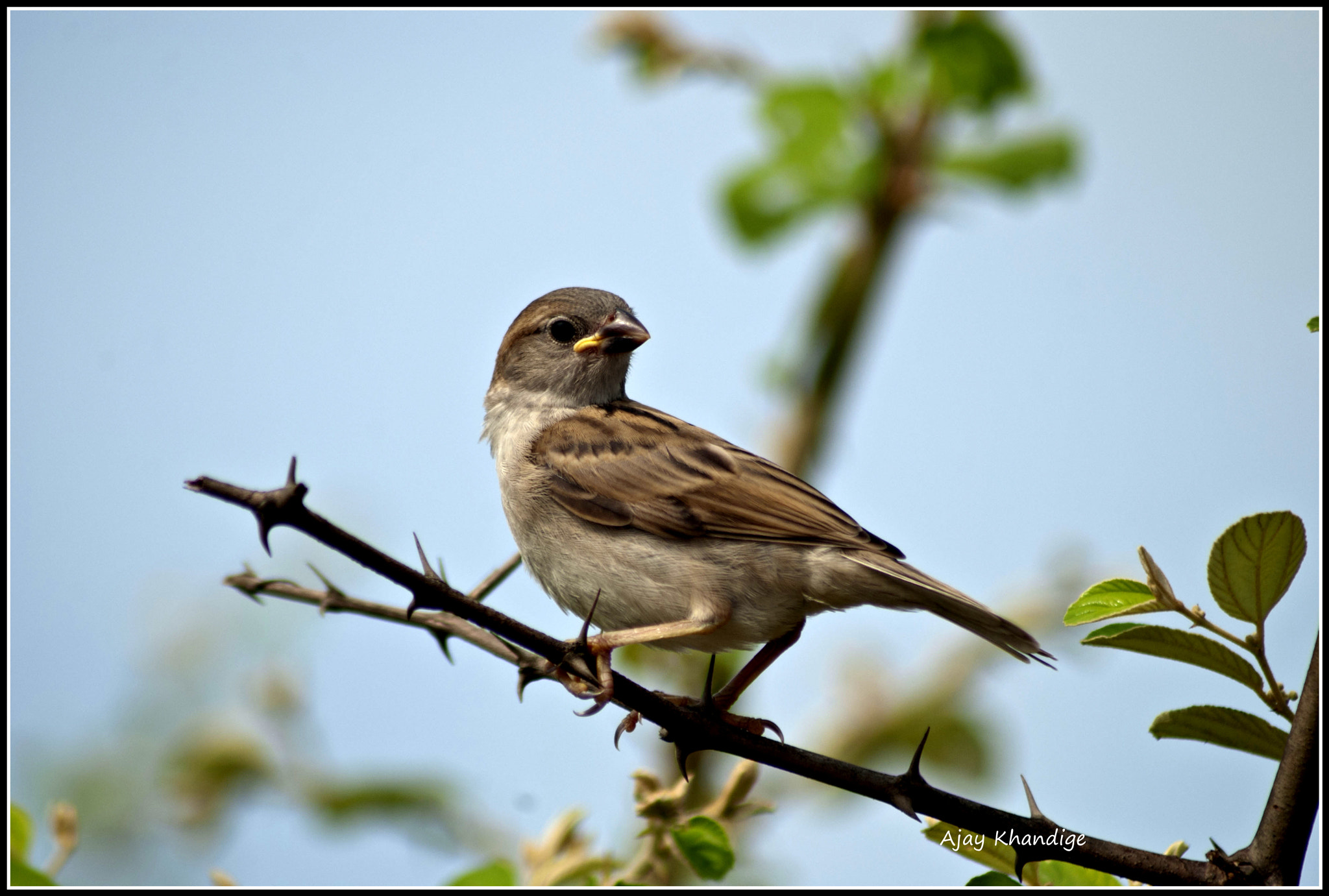 Photograph House Sparrow by Ajay Khandige on 500px