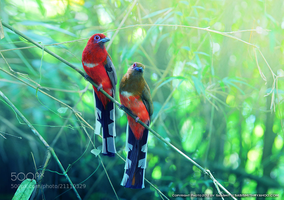 Photograph Red-headed Trogon by Sasi - smit on 500px