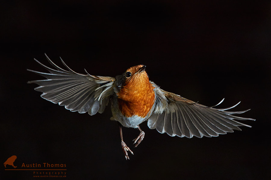My garden Robin in flight