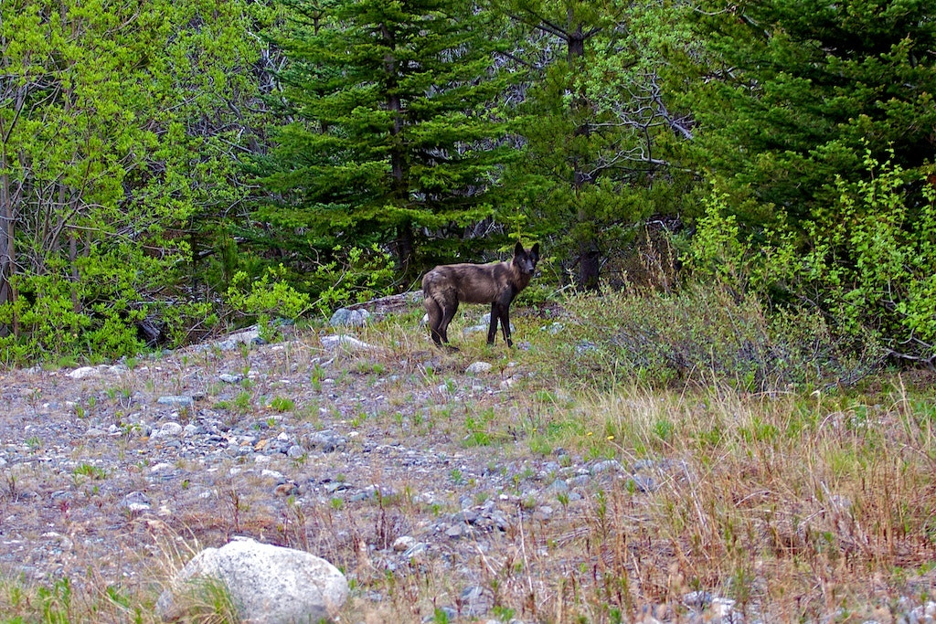 Photograph Yukon Wolf by Donna Shreck on 500px