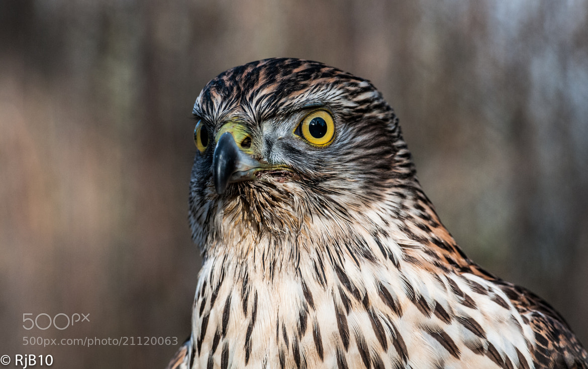Photograph Goshawk by Rob Bunday on 500px