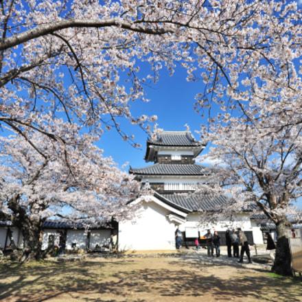Sakura and Castle(桜とお城)