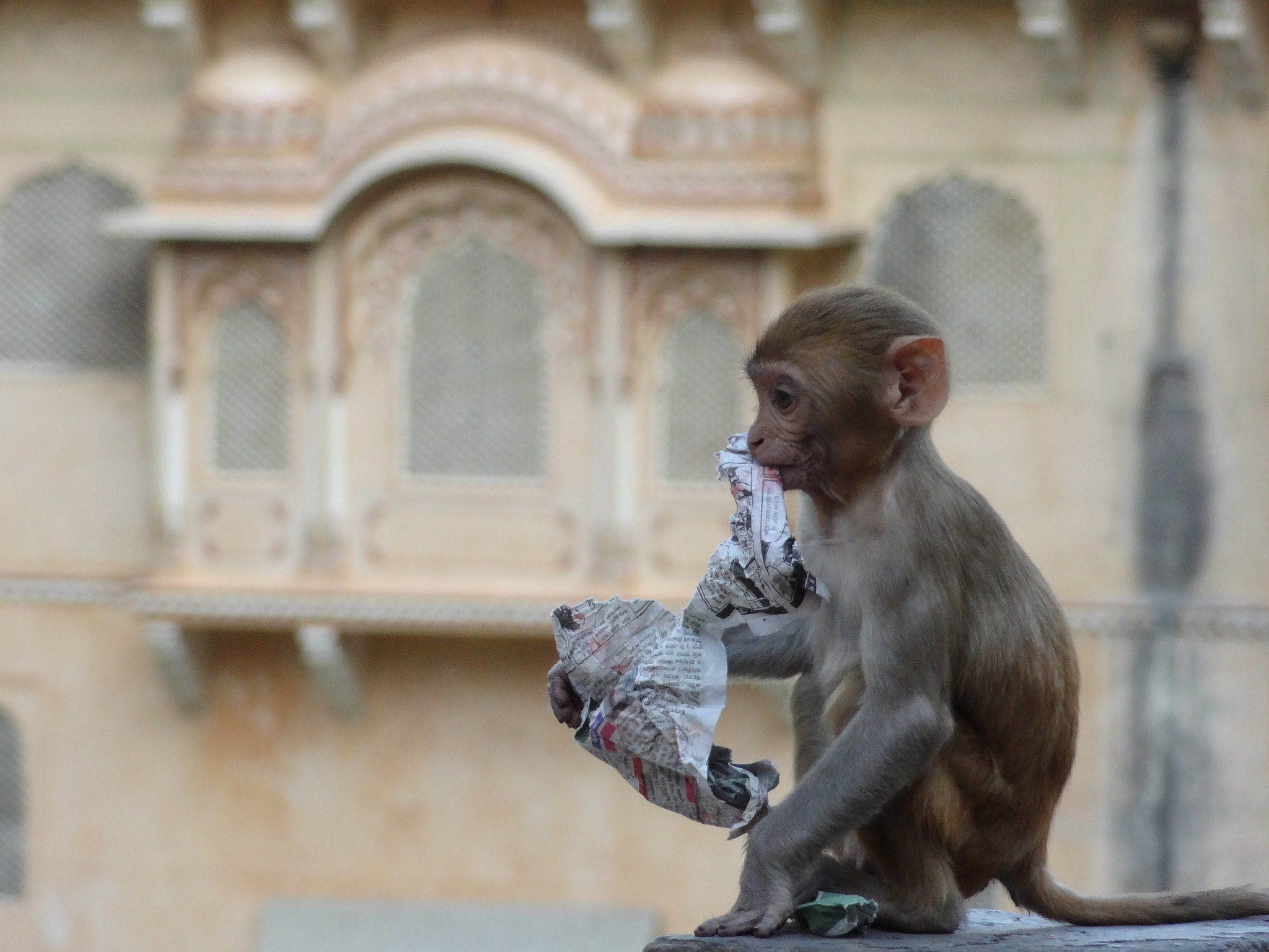Photograph Monkey baby eating newspaper, Galta Kund, Rajasthan, India by Gio TheDrifter on 500px