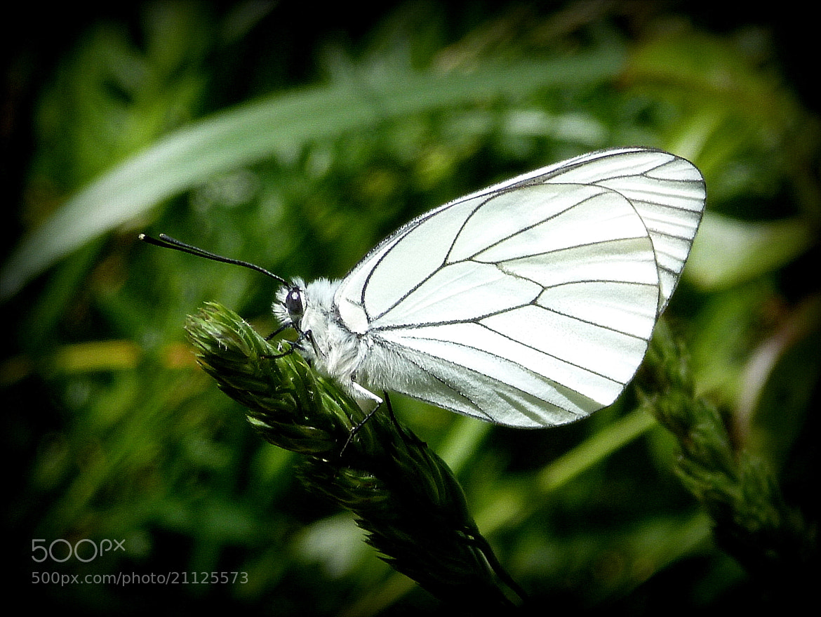 Photograph Butterfly by Ulderico Pontini on 500px