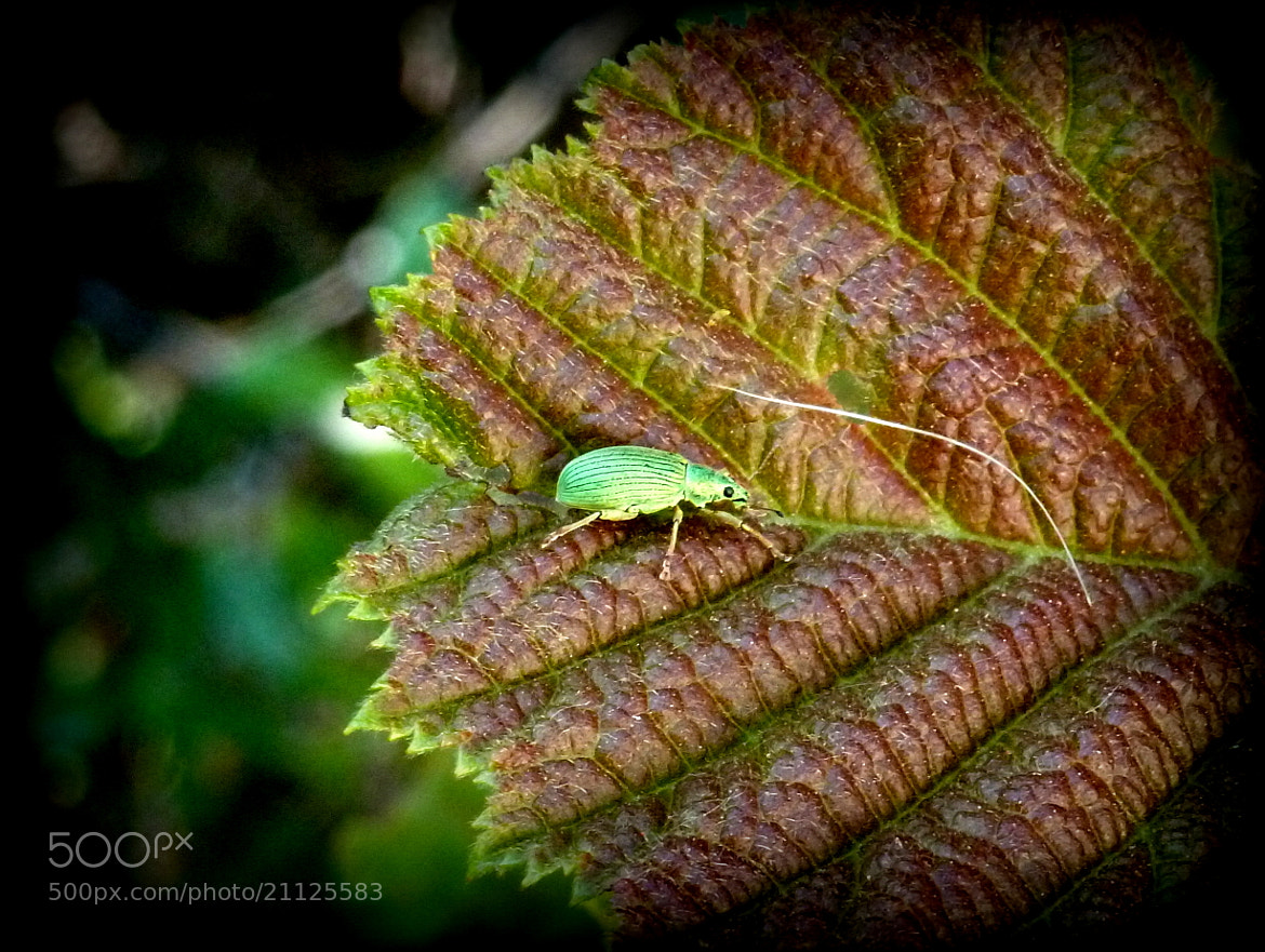 Photograph Coleottero curculionide by Ulderico Pontini on 500px