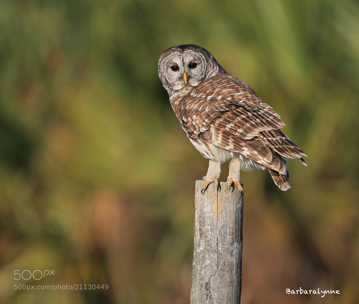 Photograph Barred Owl by Barb D'Arpino on 500px