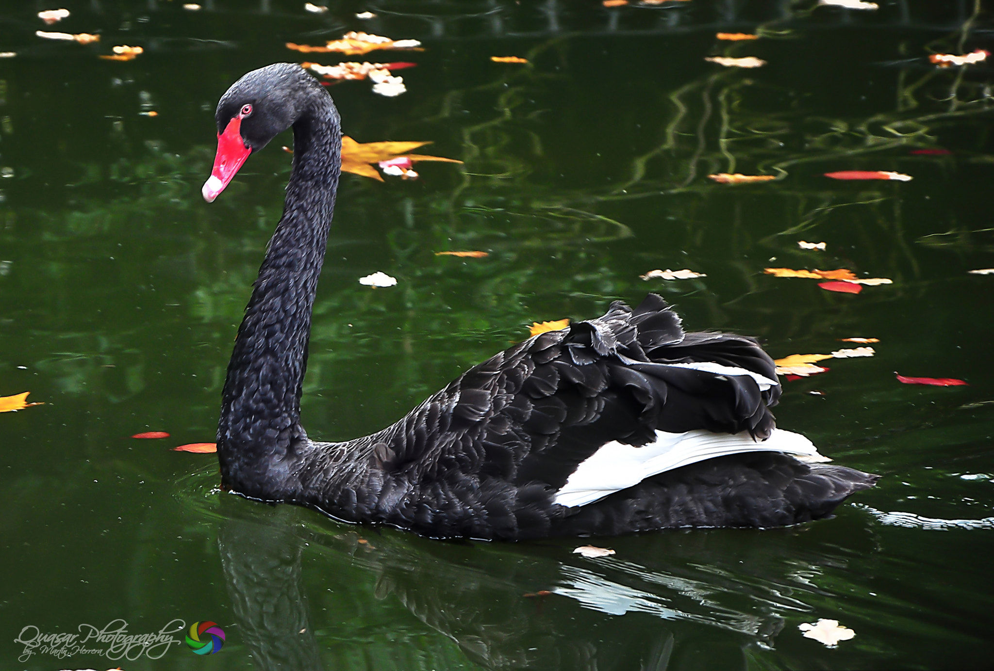 Photograph Cisne Negro. by Martin Herrera on 500px