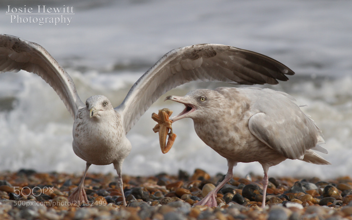 Photograph Glaucous Gull by Josie Hewitt on 500px
